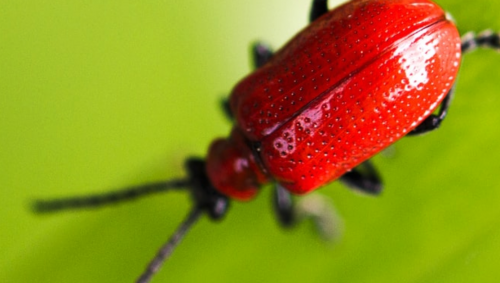 Photo taken by Brant Crockett of a red bug.